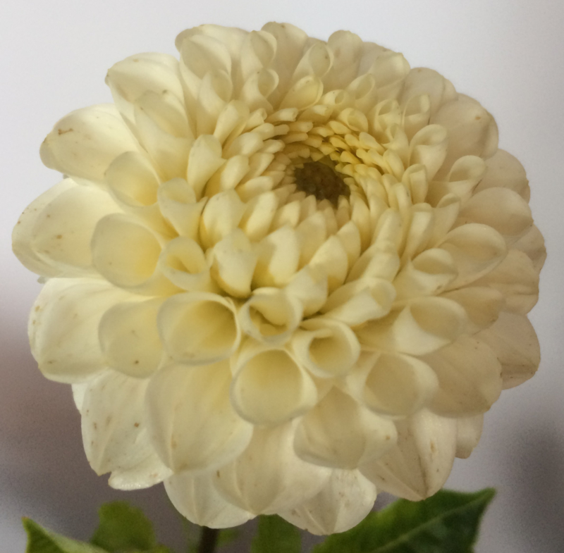 Dahlia White Wizard