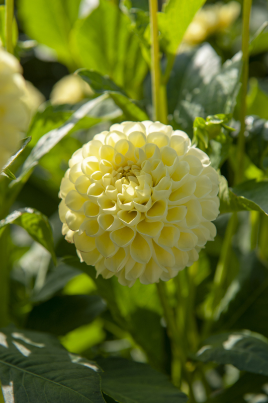Dahlia Nettie Yellow