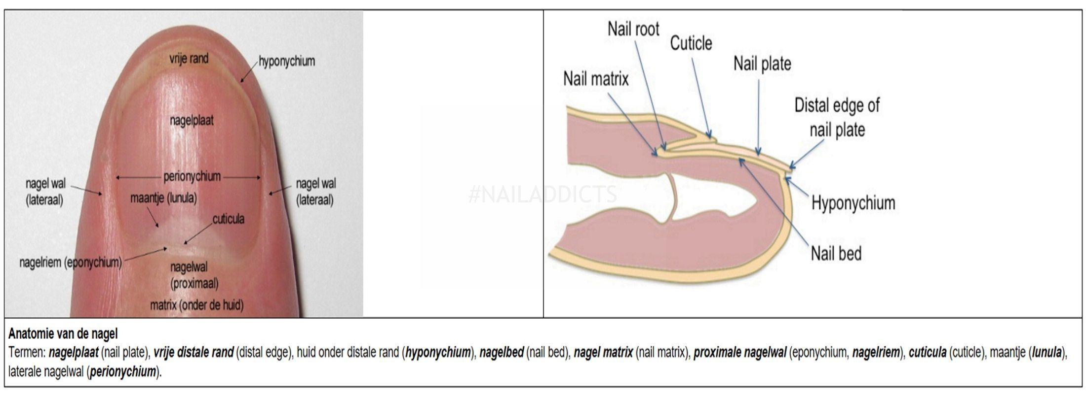 Anatomie nagelbed