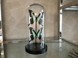 2 Vlinders Papilio Phorcas in stolp (groen)