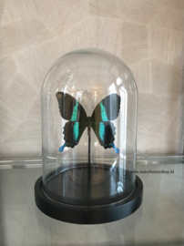 Vlinder Papilio Ulysses Ulysses (groen)