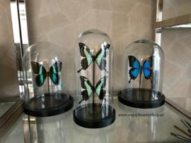 Vlinder Papilio Ulysses Ulysses (blauw)