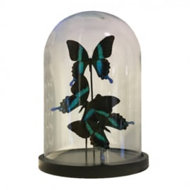 3 Vlinders Papilio Blumei in stolp (groen)