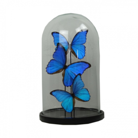 3 Vlinders Morpho Didius in stolp (blauw groot)