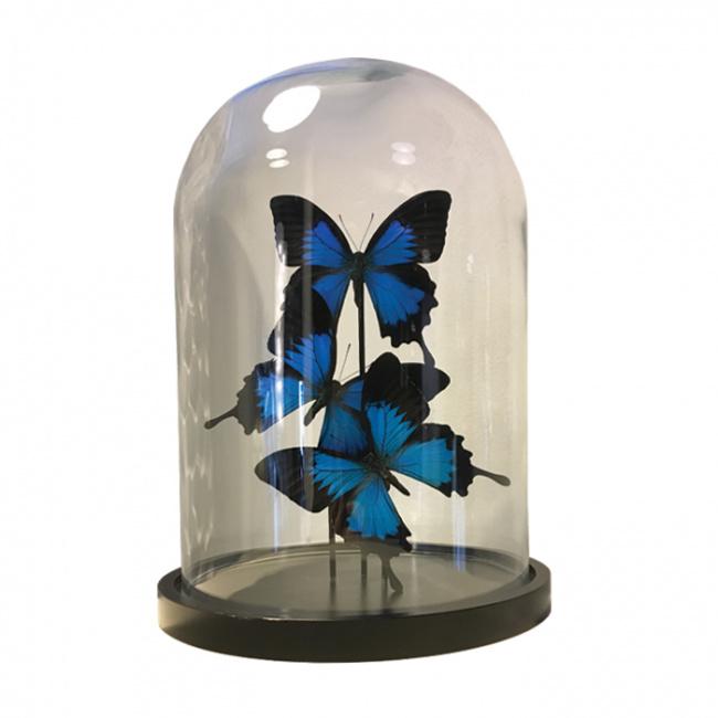 3 Vlinders Papilio Ulysses in stolp (blauw)