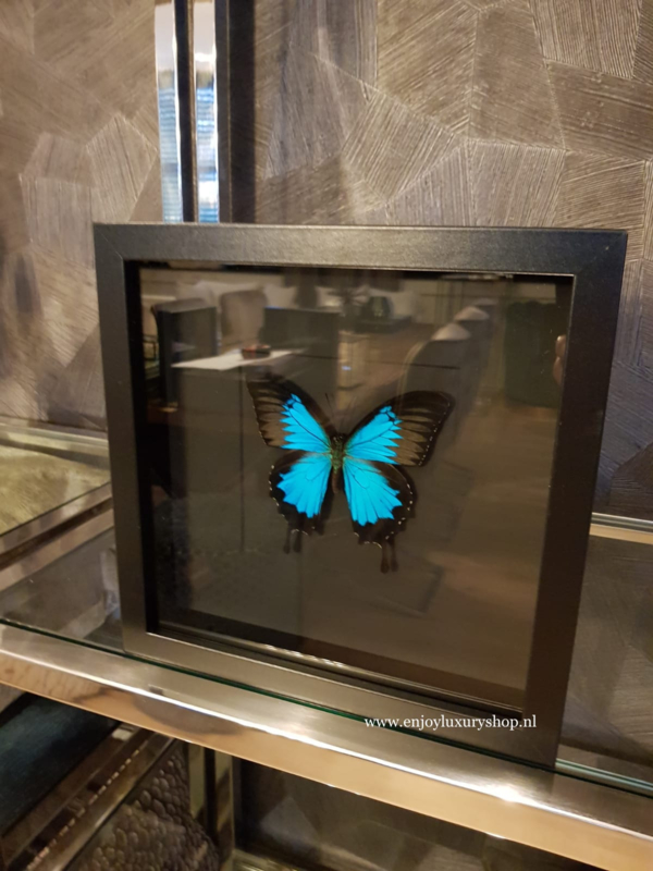 Vlinder Papilio Ulysses Ulysses in schilderij (blauw/zwart)