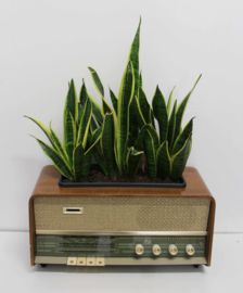 The Sound of the Sanseveria's