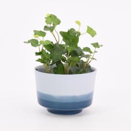 Dip   Plant   M   Blue 065