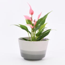 Dip   Plant   L   Grey 205