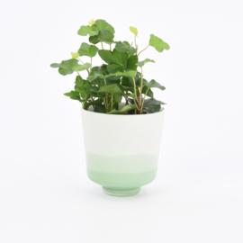 Dip   Plant   S   Mint 071