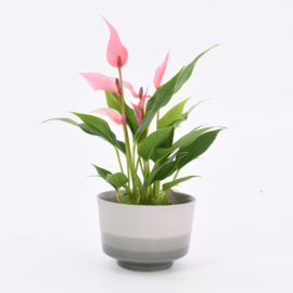 Dip   Plant   M   Grey 205