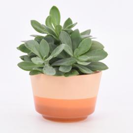 Dip   Plant   L   Orange 054