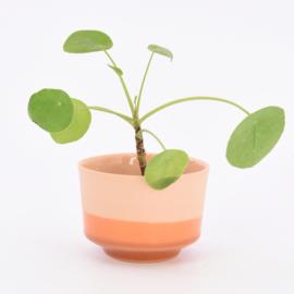Dip   Plant   M   Orange 054
