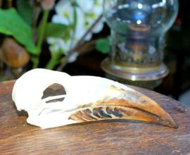 Vogel-Schedel: Grijze Tok -  Neushoornvogel