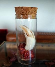 Echte Wild-Zwijn Slagtand met droogbloem in Stolp-Flesje