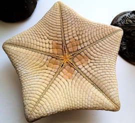 Prachtige Grote Zeester - Pillow Starfish - ca 25 cm