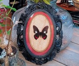 Prachtige echte Parides Vlinder in zwarte Barok/Gothic lijst