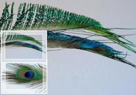 Echte Pauwenveer - met of zonder oog - 25-28 cm lang