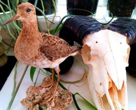 Taxidermie - opgezette mooie vogel: Ruff - Philomachus pugnax - in zomerkleed