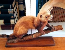 Taxidermie: Mooie Grote Polecat/Bunzing op Tak + Basis