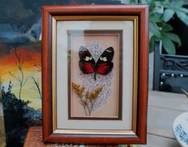 Heliconius Doris Eratonensis Vlinder in Vintage lijst