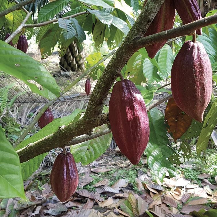 ADOPT A CACAO TREE