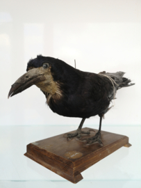 Old taxidermy Rook