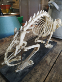 Antique cat skeleton