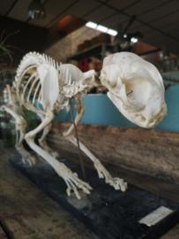 Antique cat skeleton