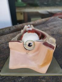 Old plaster anatomical eye model