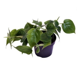 Philodendron scandens 12 x 15 cm