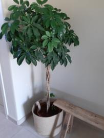 Schefflera compacta plant 150 cm