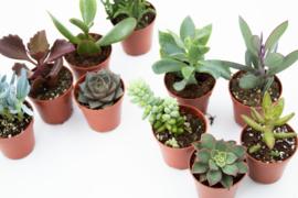 Interieur set 10st (5,5 cm) Vetplant