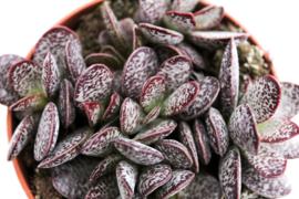 Adromischus maculatus Calico Hearts