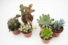 Interior set (8,5 cm) 6st Succulent