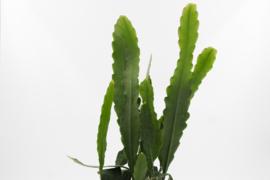 Epiphyllum hybrid 'Sarah Courant'
