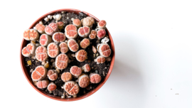"Lithops karasmontana Lateritia "" red tops """