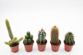 Interieur set 6st (5,5 cm) Cactus columnar