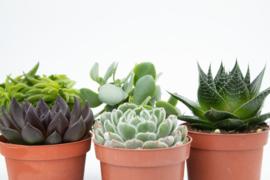 Interior set (10,5 cm) 5st Succulent