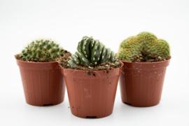 Cactus cristaten mix