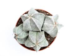 Astrophytum Myriostigma group