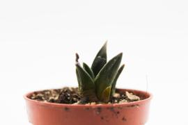 Ariocarpus Trigonus horacekii Jaumave