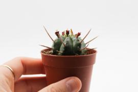 Euphorbia Pulvinata cv. nana