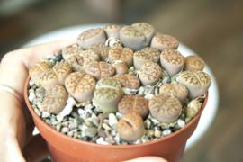Lithops Lesliei Minor clusters