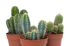 Interior set (12 cm) 3st Cactus