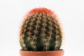 Melocactus broadwayi groot