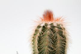 Echinocereus reichenbachii baileyi