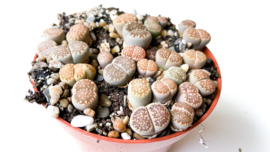 Lithops Sallicola clusters