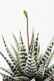 "Haworthia Fasciata ""alba"" zebra plant"