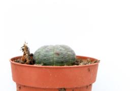 Euphorbia Obesa medium